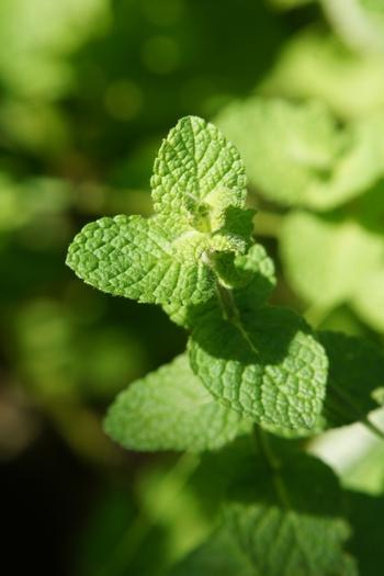 アップルミント(シソ科ハッカ属の多年草)  ▼特徴 葉はペパーミント・スペアミントに比べて、葉は柔らかい毛で覆われた円形で、表面の凹凸が目立ちます。 香りは、青リンゴとスペアミントを混ぜたような、甘くフルーティーなまろやかな香りが特徴です。  ▼おすすめ ペパーミント・スペアミントよりも柔らかな香りは、サラダ(生)や肉・魚料理、ビネガー、ソースなどがおススメです。 ハーブティなど、温めると少し青臭さが出てしまうので香りを活かした生で活用してください。