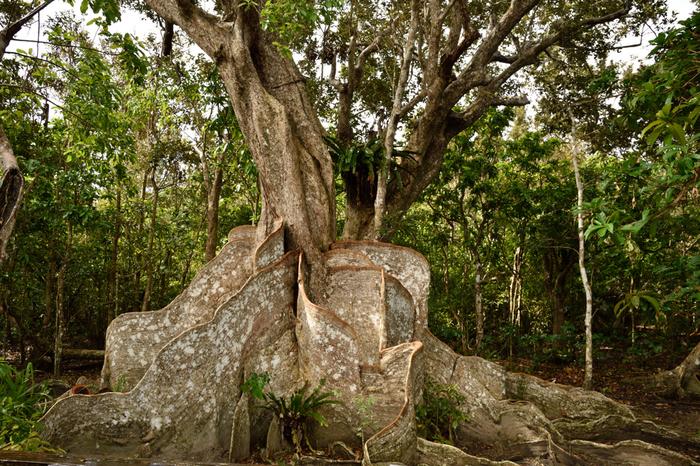 この木でできた壁のようなものは、熱帯に特有のサキシマスオウノキの根っこです。人ひとりすっぽり隠れることができちゃうくらい、とっても大きい板根に、生命のエネルギーを感じます。