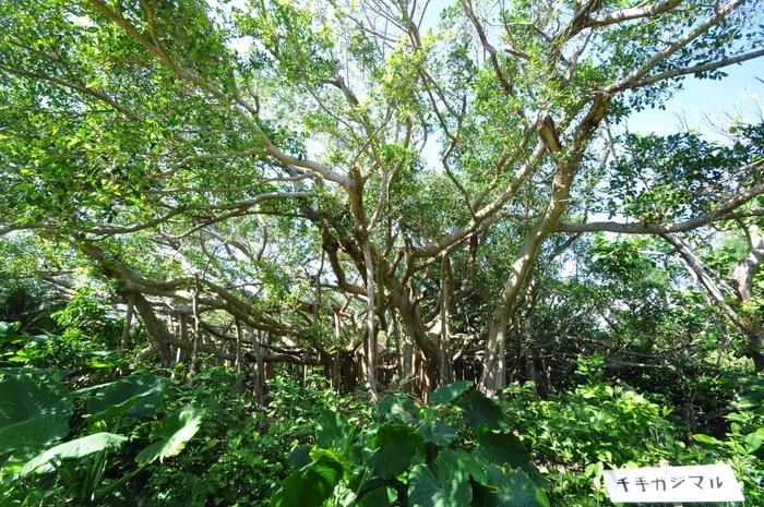 鳩間島にはとっても立派なガジュマルの木がたくさんあって、そのいくつかには名前もついているほど。しっかりと地に根を張って生きる大木のエネルギーは、一見の価値ありです!