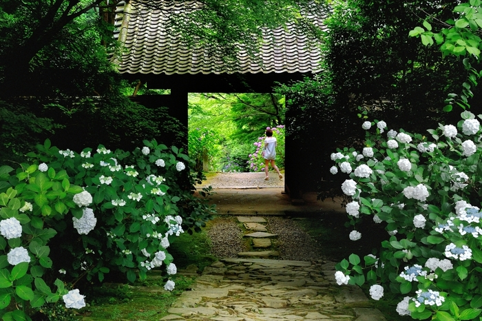 アジサイ科アジサイ属の落葉低木・あじさい。学名は「ハイドランジア」(水の器)だけに、大量の水を必要とする植物です。