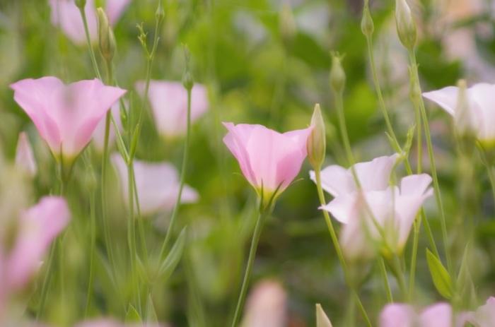 リンドウ科ユーストマ属の多年草(一年草となることも)。白・ピンク・ブルー・パープルなどのカラーが揃います。日本では、品種改良によって、1千を超える品種が生み出されてきました。