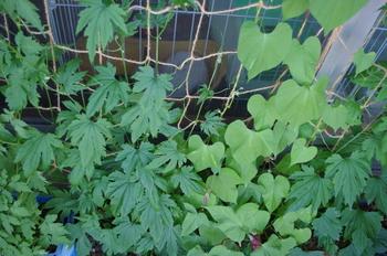 「フウセンカズラ」と「アサガオ」、「ゴーヤ」をミックスしたカーテン。ゴーヤは実がたくさんとれるので、他の植物と混ぜて植えてもいいですね♪  また、ゴーヤは葉がよく茂るので、隙間が気になる植物と一緒に植えると、より良いカーテンになりますよ。  ※【注意)】ゴーヤはインゲンなどのマメ類と一緒に植えると、病害虫の被害に遭いやすくなるので注意してください。