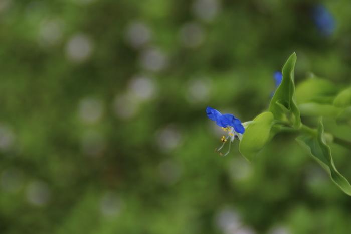 世界じゅうに分布するツユクサ科の属の1つ。古くは、月草・鴨頭草(つきくさ)と呼ばれて「万葉集」にも登場するなど、私たちにもなじみが深い花です。朝に咲いて午後はやくに萎れることから、英語圏では、「Dayflower(その日のうちにしぼむ花)」と呼ばれています。