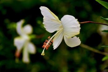 赤をはじめ、黄色やピンク、オレンジなどの原色から茶~色が変化するもの、大きさも大きな花から小ぶりなものまで、世界中に1万あまりの園芸品種があるとか。