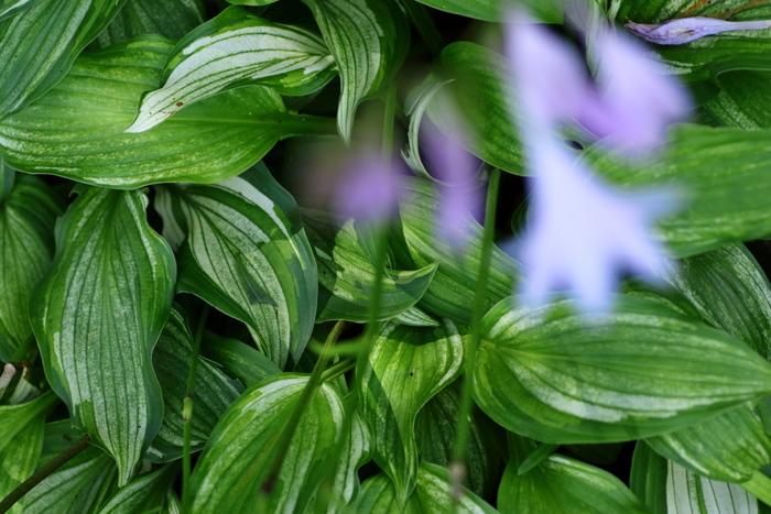 """若葉は""""ウルイ""""としておひたしなどで食べられます。ふた回りほど小さく、花が紫の「コバギボウシ」もあります。"""