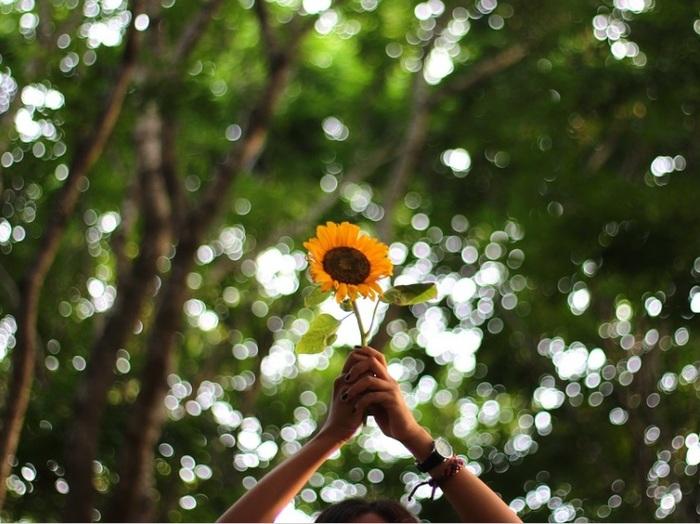 夏を代表する花として、俳句では夏の季語にもなっているキク科の一年草。鑑賞用としてはもちろん、1つの花につく数が8千と言われる栄養豊富な種が、ヒマワリ油として食品や化粧品に用いられているのはご存じのとおりです。