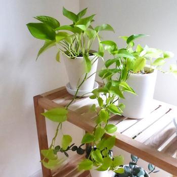 観葉植物の中でも特に人気の高い「ポトス」。丈夫で育てやすく、あまり日の当たらない場所に置いても大丈夫という頼もしい種類です。