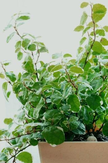 小さな葉っぱが密集している姿が愛らしい「プミラ」。日陰でもよく育ち、カットしたものを水に挿しておくだけで根が出てくるほど丈夫な植物です。