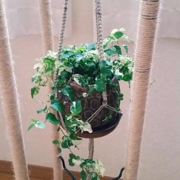 プミラは横にどんどん伸びていく植物なので、ハンギングプランツにするのもおすすめです♪ただし乾燥に弱いため、時々ベランダなどに出してたっぷりお水をあげて下さいね。
