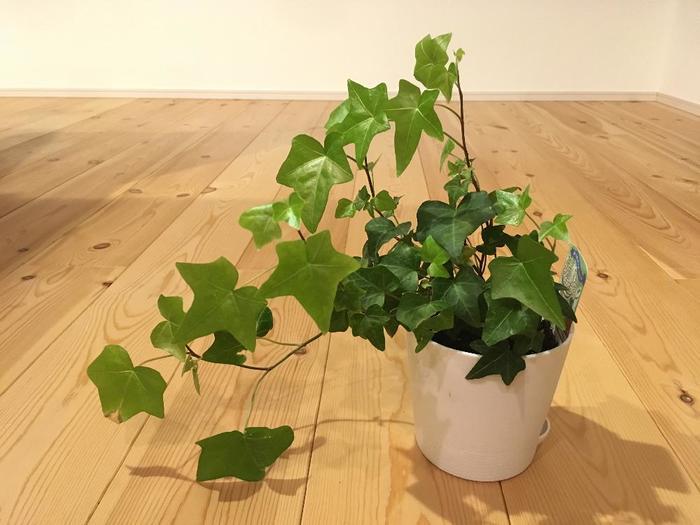 「アイビー」は星型の葉っぱが特徴的な植物です。別名「ヘデラ」や「キヅタ」とも呼ばれ、外では地面や壁などに沿って成長する姿がよく見られます。わずかな日光があれば育つので、日当たりの悪いお部屋にもぴったりですよ☆