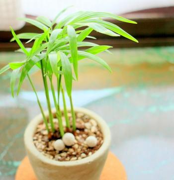 テーブルに置けるほどの大きさであることからその名が付いた「テーブルヤシ」。南米などを原産地とする植物ですが、意外に直射日光に弱く、日陰を好むのが特徴です。
