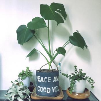 ハワイでは神聖な植物とされている「モンステラ」。一つ飾るだけでお部屋が南国の雰囲気になることから、日本でもインテリアとして人気の高い種類です。株が小さいうちはハート型の葉っぱしか生えませんが、成長するにつれて独特の形状に変化していきます。