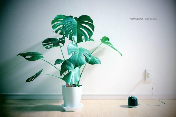 こちらが成長して葉っぱに割れ目ができたモンステラ。かなりのボリュームと存在感がありますね!モンステラは日陰でも枯れにくい植物ですが、順調に育てるためには適度な日光も必要です。時々カーテン越しに日を当ててあげましょう。