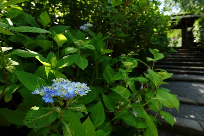 咲き始めの紫陽花の可憐さも美しいものです。 明月院は、鎌倉時代の初頭には既にあった臨済宗建長寺派のお寺で、禅輿寺の庵として建てられました。住職がいない状態が続き、明治初年に廃寺となり、現在は明月院のみが残っています。