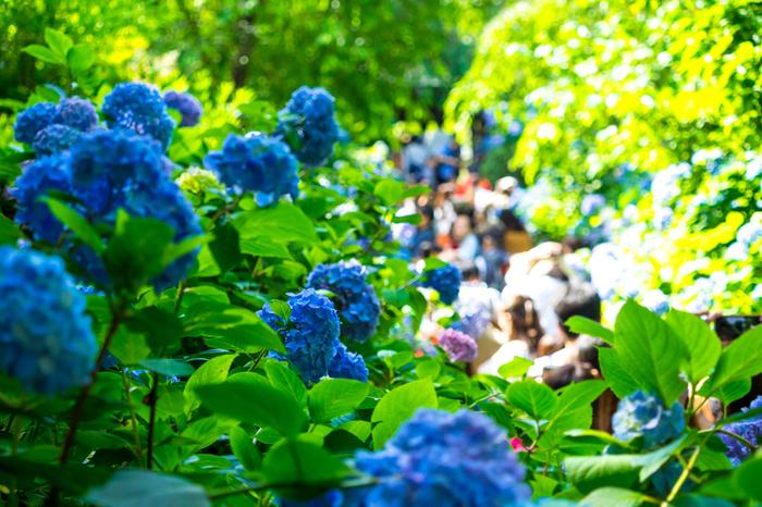 休日には、参道は人気で石の階段が全く見えない状態もあるそうです。 あじさいのトップシーズンは平日でも混雑が予想されますので、朝一番に拝観するのがおすすめです。