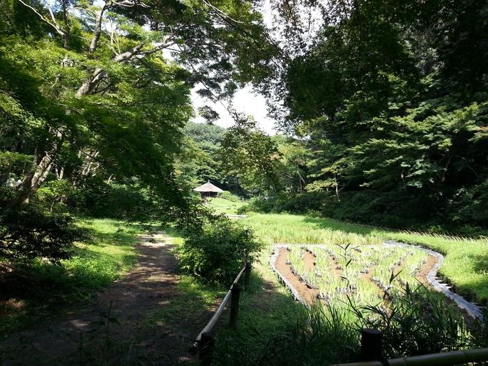 いつも大勢の参拝客で賑わう明治神宮ですが、神宮御苑に入るとこんなのどかで静かな庭園があります。ここはもともと江戸時代の初期から加藤家、井伊家のお屋敷の庭園だった場所で、6月には菖蒲田(しょうぶだ)の花菖蒲(ハナショウブ)が見事に咲きます。参拝と合わせてぜひ立ち寄ってみては。