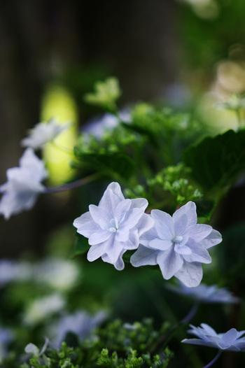 幻の紫陽花「シチダンカ(七段花)」が、敷地内で見られるそうです。出会えたら、良いことが起こりそうですね。