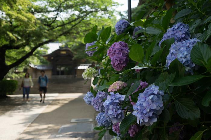 「方丈」の前に有る紫陽花の大木は、円覚寺の有名な紫陽花スポットです。 本来住職の住む場所の「方丈」ですが、現在は、写経会や座禅会、講演会などに使われています。