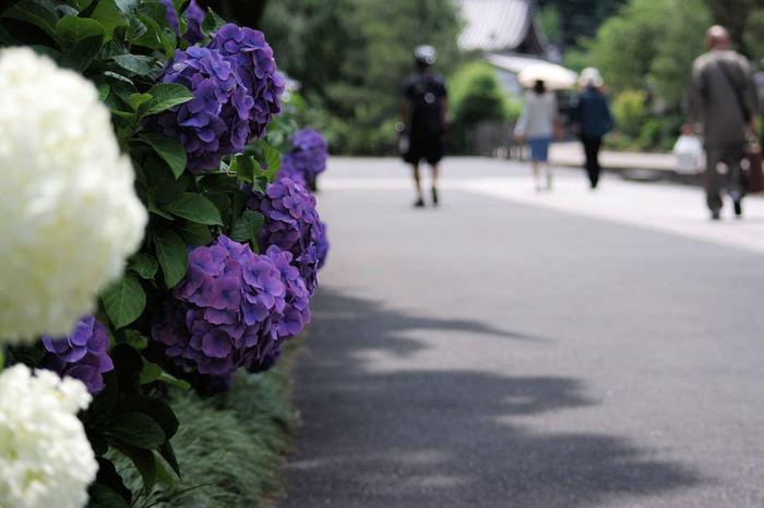 明月院に比べ花数は少ないですが、境内のあちらこちらにも紫陽花が植えられ、ゆったり楽しむことができそうです。