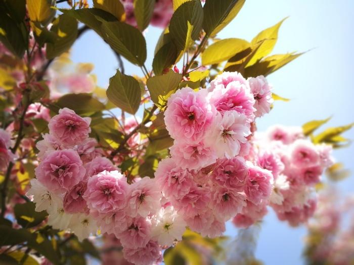 桜漬けには、花びらがフリルのように重なった八重桜がぴったり。ガクから花を摘んで塩漬けにします。