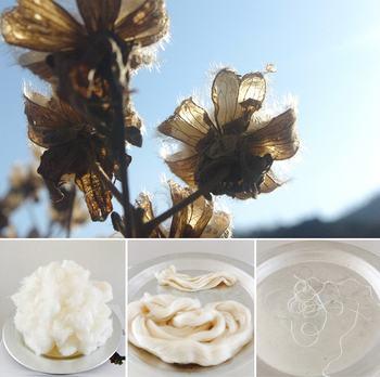 綿は、綿花畑で育てられ、綿花の花が咲き実がはじけた後、ふわふわした綿毛が取り出され紡績工場に運ばれます。そして様々な工程を経て糸に生まれ変わります。一口にコットンと言っても、もちろん全てが同じではありません。実は生育した土壌や環境によって個性が生まれ、質感も着心地も異なるのです 。まるでカカオやコーヒーのようですね。最近注目の「ビーントゥバー」や「スペシャルティコーヒー」のように、それぞれ産地の特性を生かした、素敵な3つのコットンを次にご紹介します。