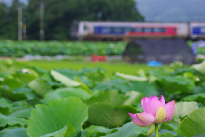 茨城県など、レンコンが名産の場所には、見渡す限りレンコン畑が広がります。そう、レンコンって蓮の根なんですよね。