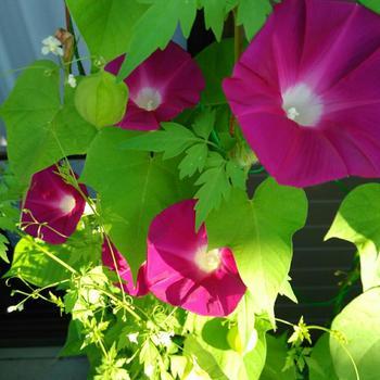 こちらは「フウセンカズラ」と「アサガオ」をミックスした可愛いカーテン。和風で涼しげな2つの植物の相性はバッチリですね♪