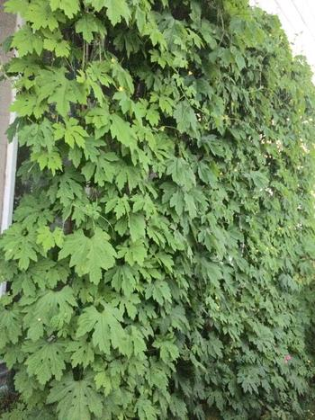始めるなら今です!電気代も節約できる『グリーンカーテン』の方法とおすすめ植物
