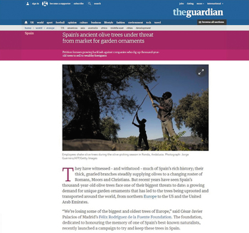 スペインは世界一のオリーブ大国。古くからオリーブの栽培が行われ、樹齢1000年、2000年という樹も珍しくありません。スペインのオリーブオイルは品質も良く、世界でも最高水準を誇る特産物。しかし、その裏で不況にあえぐスペインでは、その樹齢1000年、2000年の立派な樹々が大地から引き抜かれ、売られているという現実があるのです。