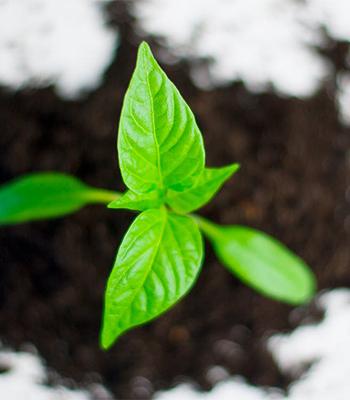 慣れないうちは園芸店で市販されている「観葉植物の土」を選ぶこと。適切な土を選ぶことで、元気に美しく育っていきます。