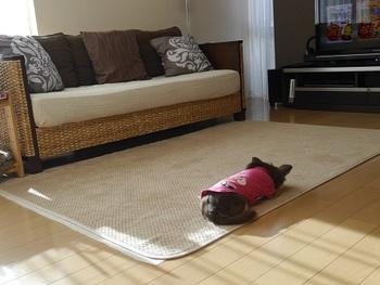 ■きゅうさん with ハミコちゃん(チワワ) ソファの座面とラグのカラーを合わせていて、すっきりした印象です。  チワワのような小型犬を飼っているご家庭では、背の低いソファを置いていることが多いのでは?部屋が広く見える効果と、ワンちゃんの腰に負担がかからない配慮を兼ね備えています。ラグも足腰に負担をかけないためのアイテム。機能面だけでなくインテリアとしても楽しみたいですよね。  日当たりの良い場所をしっかりキープしているハミコちゃんの後ろ姿にほっこり。