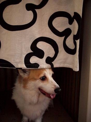 「呼んだ?」とおウチから出てきたコギオちゃん。IKEAのモノトーンのカーテンがおしゃれですね。