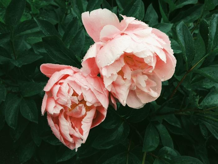 ポートランドは小さな都市ですが、 280もの公園があります。中でもぜひ訪れて欲しいのは「バラの都」と言われる街の、歴史あるバラ園。ワシントンパークの中にあり、正式名称を、「国際バラ試験庭園(International Rose Test Garden)」といいます。