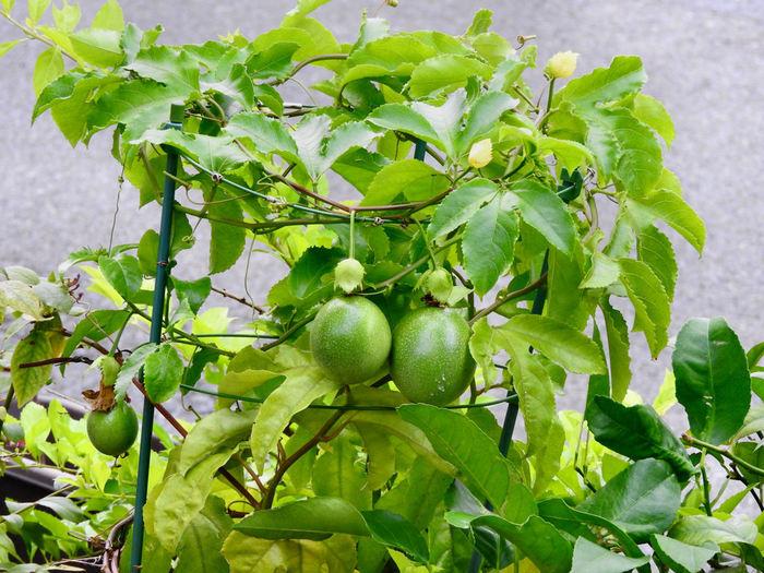 グリーンカーテンに適した植物として注目されはじめたのが「パッションフルーツ」。熱帯の植物ですが、温暖化によって日本でも育てやすくなったそう。  青々とした光沢のある葉は枯れることがなく、虫もつきにくく綺麗なカーテンを保てます。