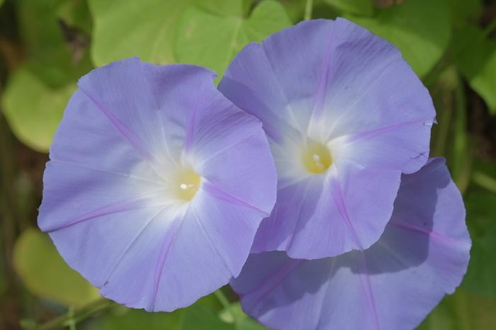ヒルガオ科の「ヨルガオ」はその名の通り、夕方から早朝まで朝顔よりも大きな花を咲かせます。「ユウガオ」という名で流通しているものもありますが、ユウガオは本来ウリ科の野菜のことでほとんど流通していなく、花びらの形が違います。  香りもいいので、朝顔と一緒に植えると、朝晩いつでも花が楽しめていいですよね。