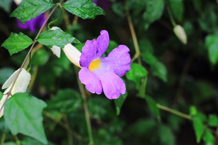 「ツンベルギア」は熱帯、亜熱帯アジアに自生しているそうで、沖縄ではよく見かける植物。繁殖力は旺盛で、道路の中央分離帯に植えられることも。いろいろな色・種類の花があり、枝垂れるような花つきが魅力です。