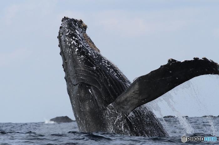 そしてやはり、父島といえばホエールウオッチング!夏の遭遇率は限りなく低いですが、大迫力のザトウクジラのジャンプを目の前で見てみたいならぜひベストタイミングで訪れてみてくださいね。