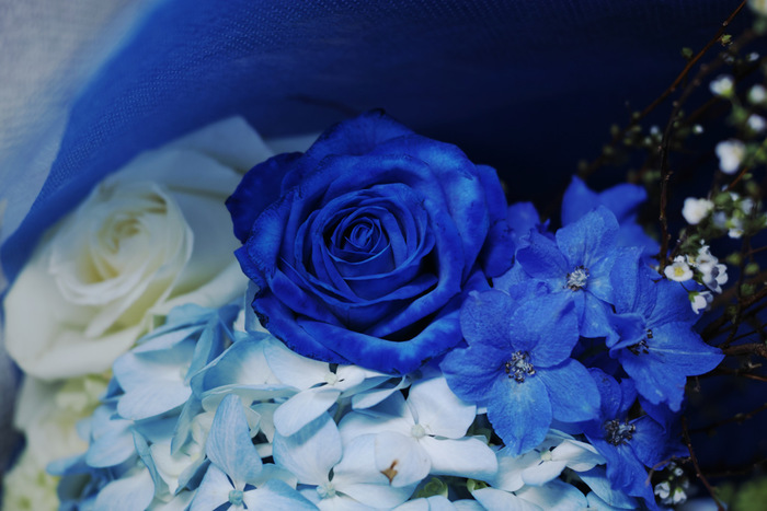 特に海外では、結婚式で花嫁さんが身につけると幸せになれるという「サムシングブルー(何か青いもの)」の一つとして、青いバラのブーケもよく見られます。