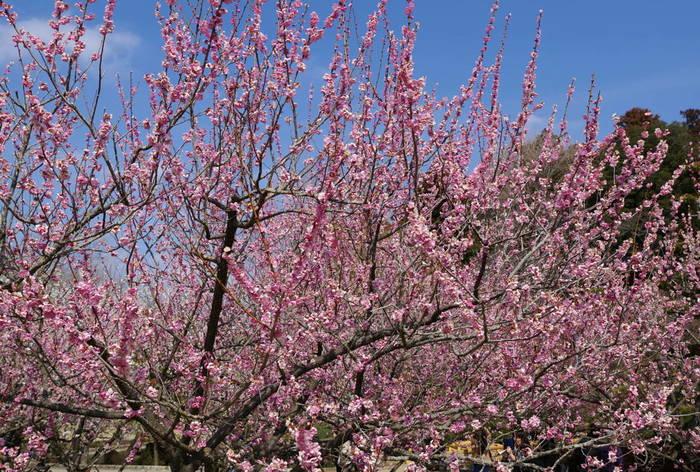 偕楽園は、金沢の兼六園、岡山の後楽園と並んで「二本三名園」の一つで、敷地内には約3000本もの梅が植えられ梅の名所になっています。梅の名所としては関東随一の規模を誇ります。日本庭園と梅の組み合わせはまさに極楽浄土。