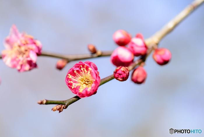 可憐な梅の花。偕楽園では100の品種の梅があるんです。紅梅や白梅だけでなく本当にたくさんの品種があるんですね。是非お気に入りを探してみてください。