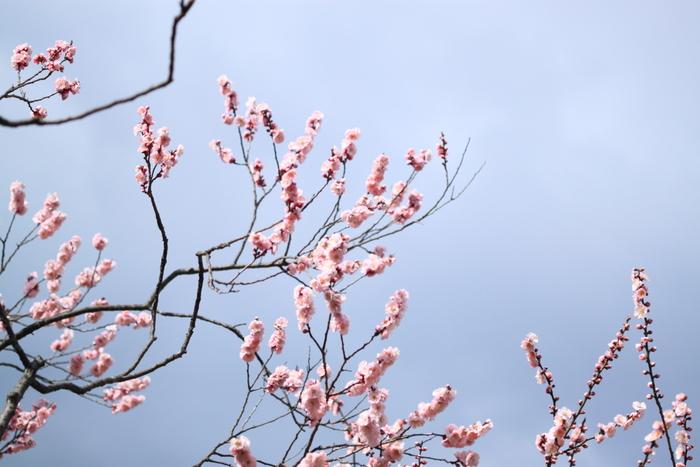 珍しい品種の「見驚」(けんきょう)。薄桃色の花弁に紅色のがくが可憐ですね。見驚は咲き進むと次第に白くなるんだとか。 ※写真はイメージです