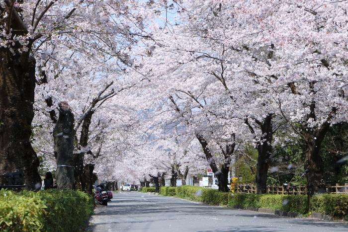 こちらは北桜通りの「桜のトンネル」。息が詰まりそうなほどぎっしり咲いた桜の下をゆっくり歩けば胸の中まで淡い桜色に染まりそう。両側約600本の桜は圧巻です。  長瀞は桜スポットが点在、様々な桜が見られる、まさに桜天国!
