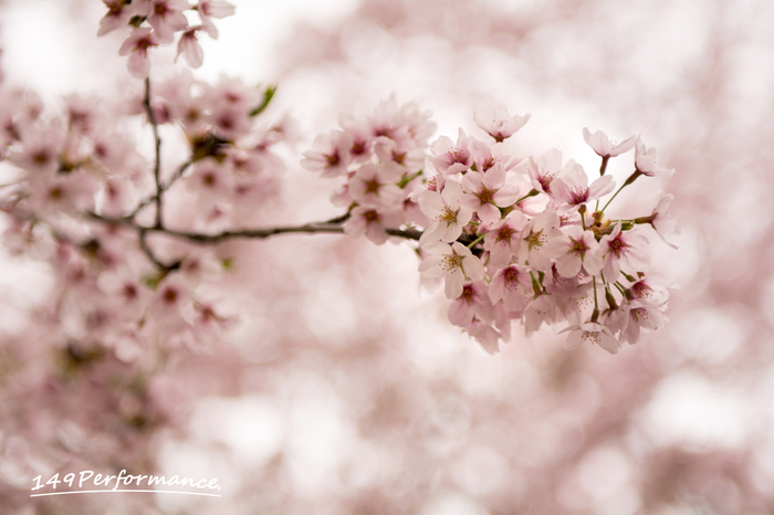 日本人の心とも言える「ソメイヨシノ」。赤城の千本桜は日本桜の名所100選にも選ばれています。