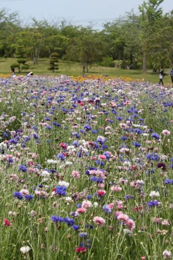 色とりどりのお花が咲き乱れています。こちらは矢車草。 お花摘みの時期はひときわ多くのお客さんで賑わいます。