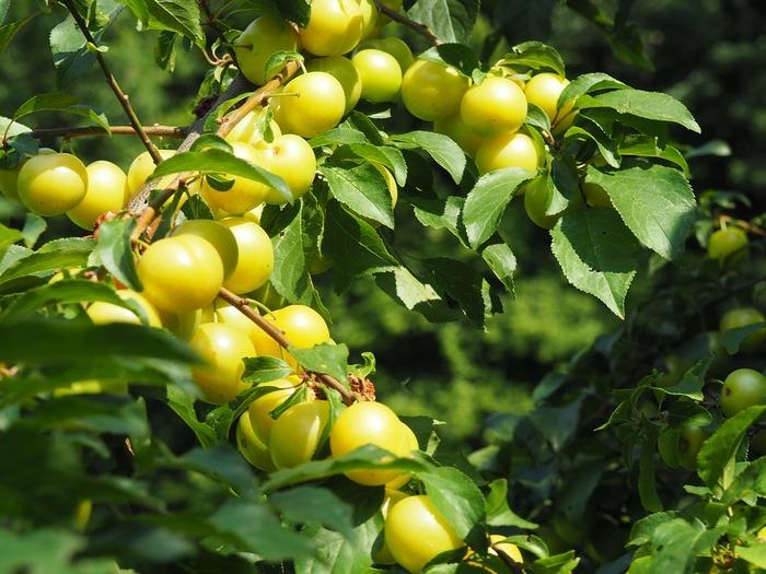 梅は、江戸時代から食べられていたとされ、今でも日本人の食卓には欠かせない存在ですね。梅干しや梅酒が代表的な食され方ですが、特に梅干しは「万能薬」と言われる程、体に良いと言われています。