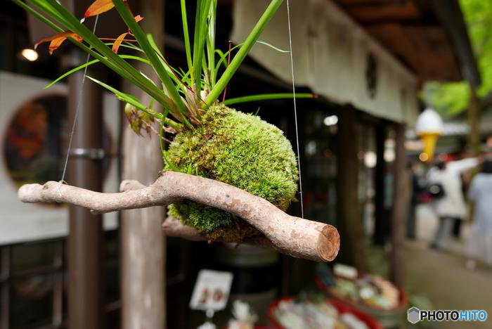 店先に吊るされた苔玉です。和の雰囲気に馴染んでいますね。