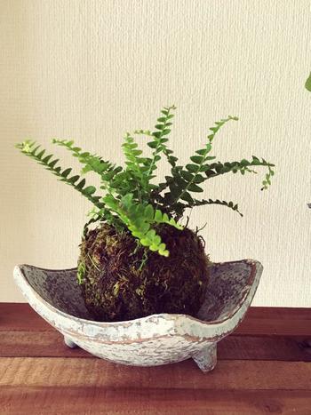 和の器が苔玉の雰囲気にぴったりです。 深さのある器なら、たっぷり水を含んだ苔玉を置きやすいんです。