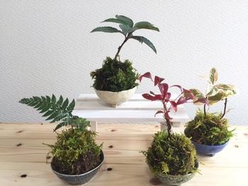 異なる苔玉を四つ並べて。   成長を思い描きながら作るのも「苔玉」の魅力の一つ。