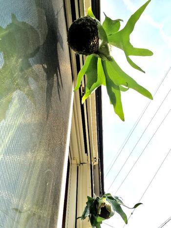 窓辺に吊るしておくと、毎朝外を眺めるのが楽しみになります。