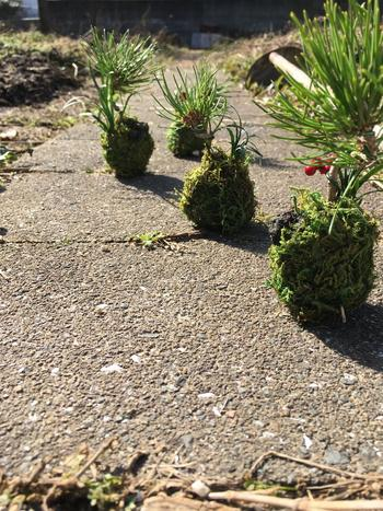 外で日向ぼっこをさせている様子。 まるで、苔玉が散歩しているかのようですね。